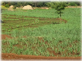 Vasanti's cultivated field with Ground nut and sugarcane